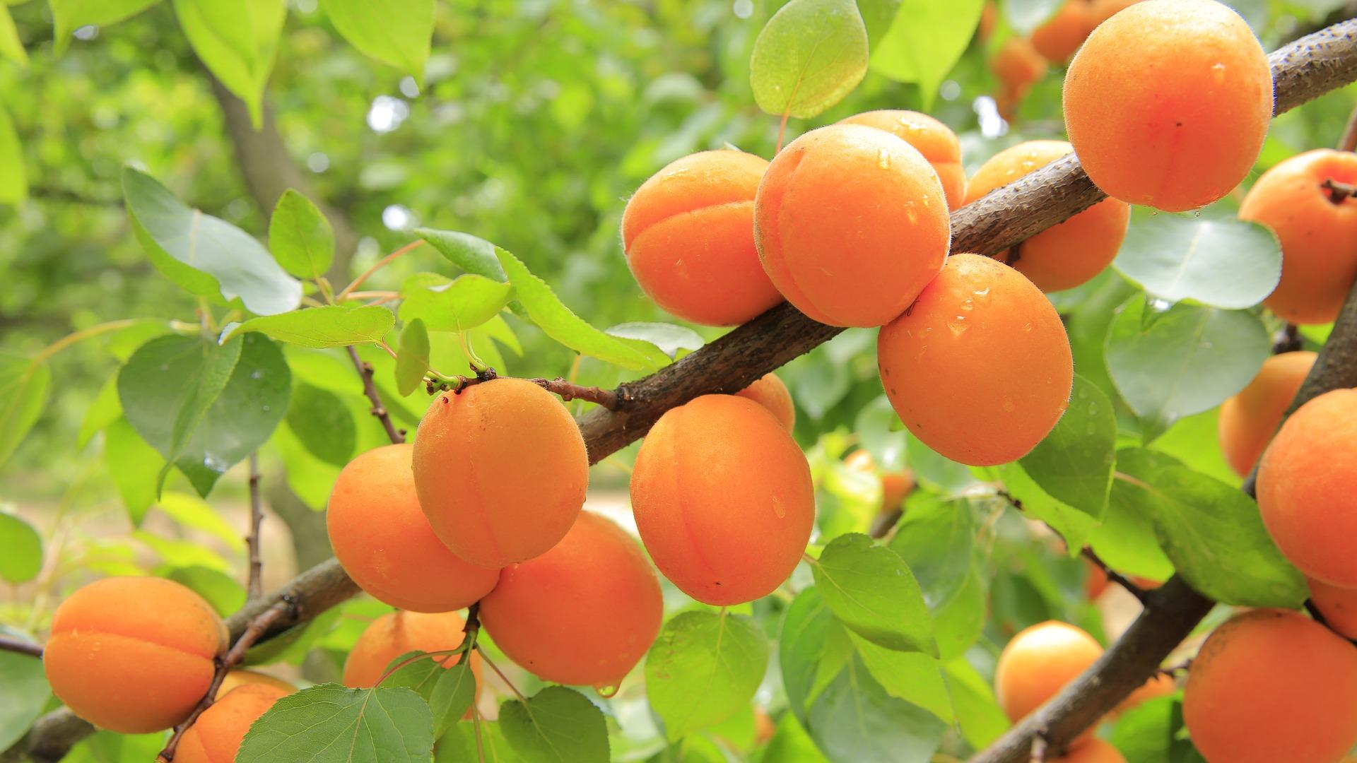 peaches-824626_1920