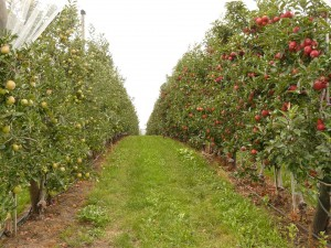 orchard-61007_960_720
